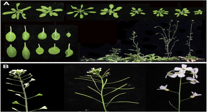 AHL15 geni birillik bitkiləri çoxilliklərə çevirir