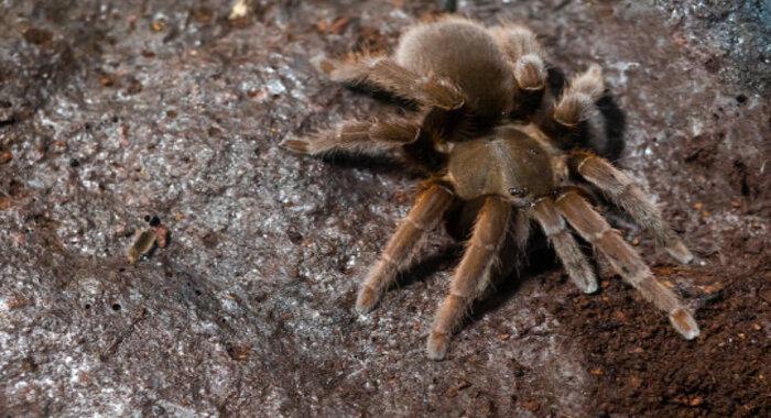 Молекулы в яде тарантула могут быть использованы в качестве альтернативы опиоидным болеутоляющим для снятия хронической боли