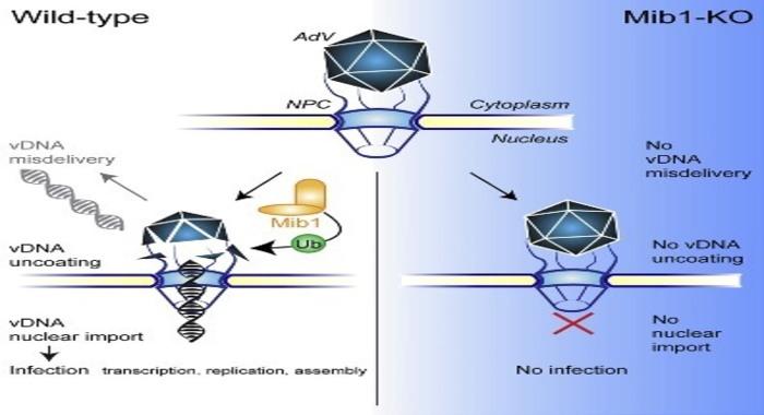 Найден белок, который дает сигнал вирусной инфекции