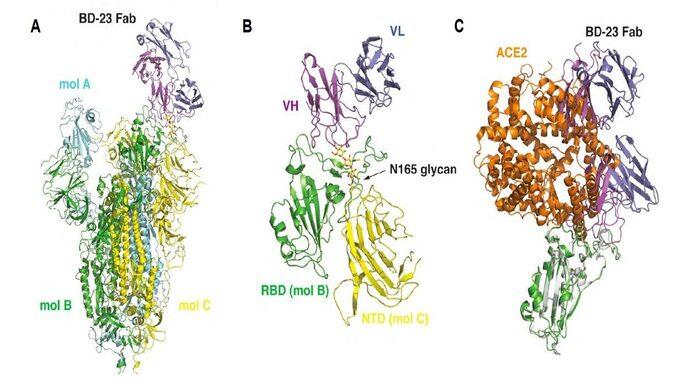 SARS-CoV-2 virusunu neytrallaşdıran effektiv anticisimlərin tapılması COVİD-19 virusuna qarşı mübarizədə əsas mərhələdir