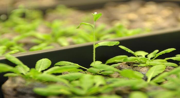 Bitki toxuması mühəndisliyi vasitəsilə bitkinin quraqlığa və şoranlığa davamlılığını artırmaq mümkündür