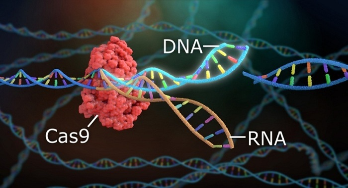 Molecular biologists have created a new form of CRISPR / Cas9 genome editor